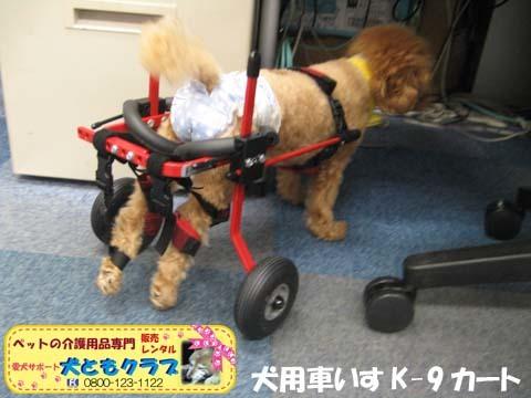 犬用車椅子K9カート トイプードルのあいちゃん用2015100103.jpg