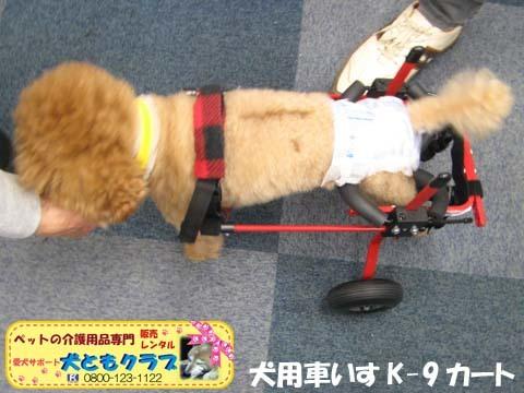犬用車椅子K9カート トイプードルのあいちゃん用2015100106.jpg