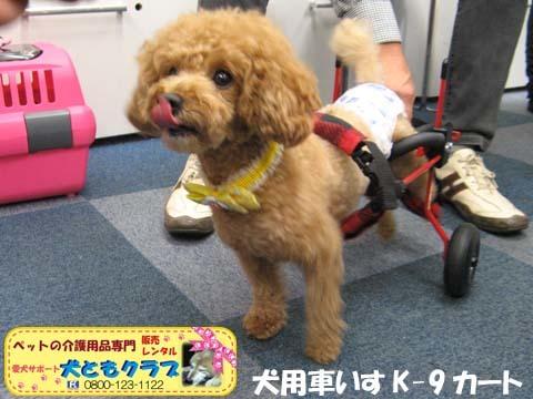 犬用車椅子K9カート トイプードルのあいちゃん用2015100107.jpg