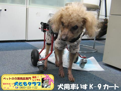 犬用車椅子K9カート トイプードルのパダちゃん2016040402.jpg