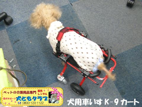 犬用車椅子K9カート トイプードルのパダちゃん2016040403.jpg