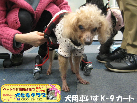 犬用車椅子K9カート トイプードルのパダちゃん2016040407.jpg