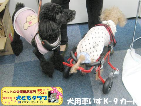 犬用車椅子K9カート トイプードルのパダちゃん2016040408.jpg