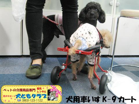 犬用車椅子K9カート トイプードルのパダちゃん2016040409.jpg