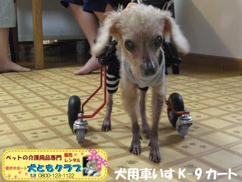 犬用車椅子K9カート トイプードルのパダちゃん2016051702.jpg