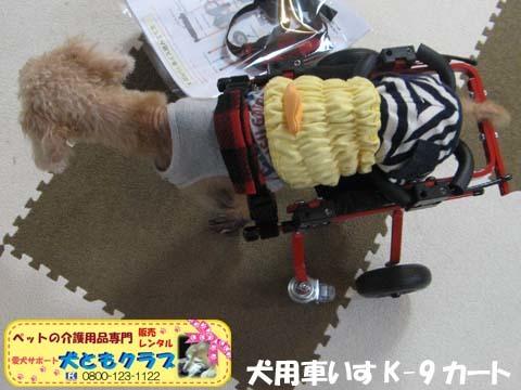犬用車椅子K9カート トイプードルのパダちゃん2016051703.jpg
