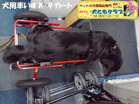 犬用車椅子K9カート ミックス犬のノアールちゃん201701122104.jpg