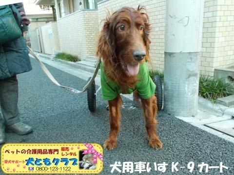 犬用車椅子K9カートアイリッシュセターのグローリーくん2017122803.jpg