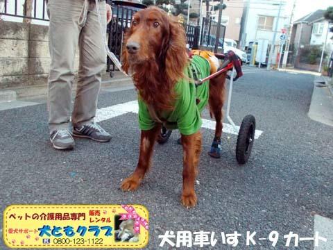 犬用車椅子K9カートアイリッシュセターのグローリーくん2017122806.jpg