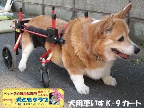 犬用車椅子K9カートコーギーのシープちゃん用2016051201.jpg