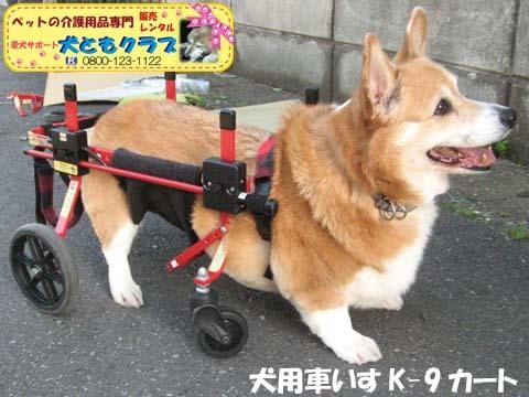 犬用車椅子K9カートコーギーのシープちゃん用2016051202.jpg