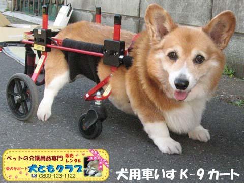 犬用車椅子K9カートコーギーのシープちゃん用2016051203.jpg