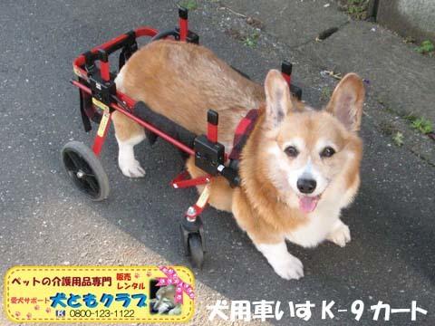 犬用車椅子K9カートコーギーのシープちゃん用2016051204.jpg