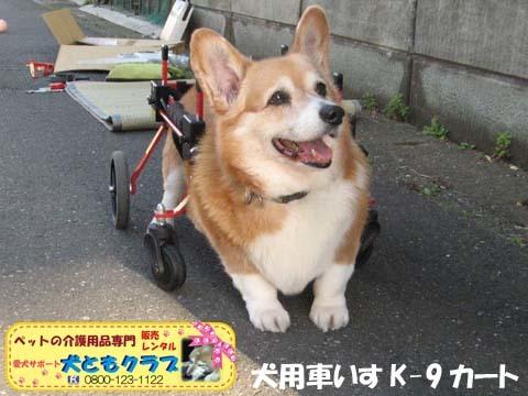 犬用車椅子K9カートコーギーのシープちゃん用2016051205.jpg