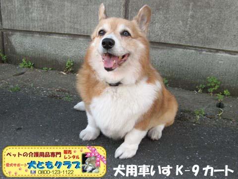 犬用車椅子K9カートコーギーのシープちゃん用2016051206.jpg