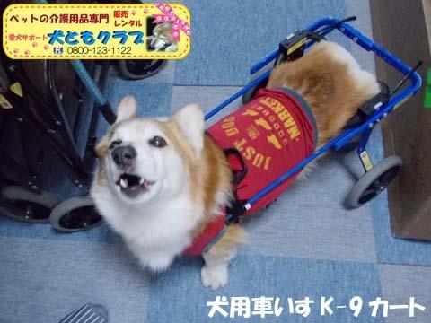 犬用車椅子K9カートコーギーのロビンくん用2017112505.jpg