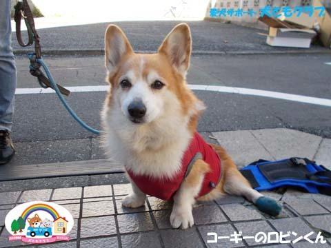 犬用車椅子K9カートコーギーのロビンくん用2017112506.jpg