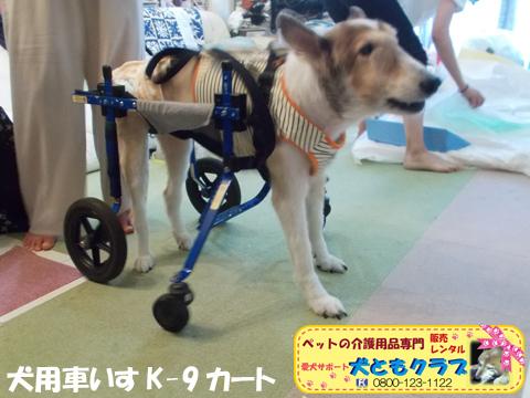 犬用車椅子K9カートシェルティーのギンくん2020090901.jpg