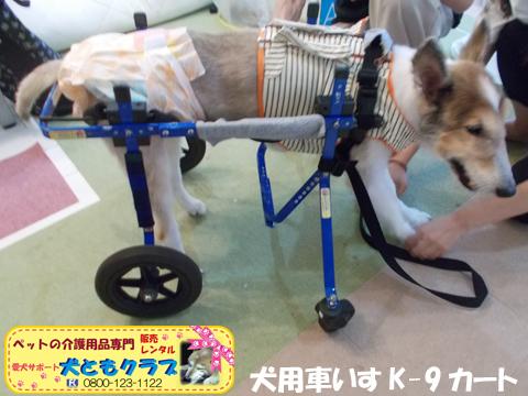 犬用車椅子K9カートシェルティーのギンくん2020090902.jpg