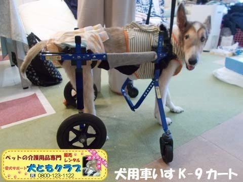 犬用車椅子K9カートシェルティーのギンくん2020090903.jpg