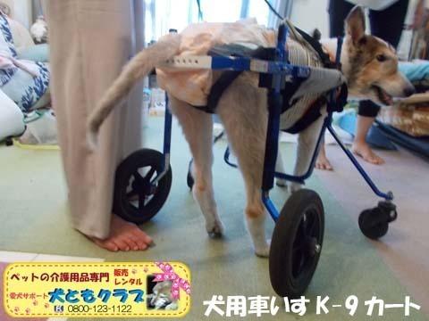 犬用車椅子K9カートシェルティーのギンくん2020090905.jpg