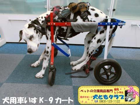 犬用車椅子K9カートダルメシアンのMayちゃん用2017120501.jpg