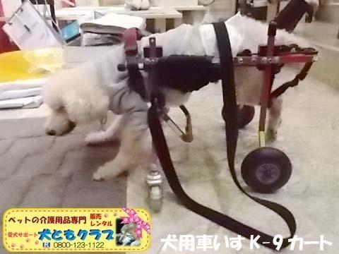 犬用車椅子K9カートトイプードル2020112601.jpg