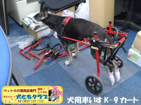 犬用車椅子K9カートミニチュアピンシャのみの吉くん2016042301.jpg