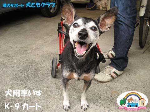 犬用車椅子K9カートミニチュアピンシャのみの吉くん2016042302.jpg