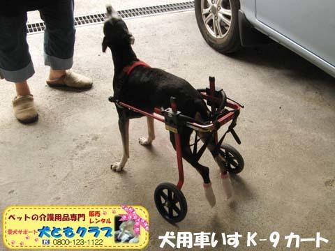 犬用車椅子K9カートミニチュアピンシャのみの吉くん2016042304.jpg