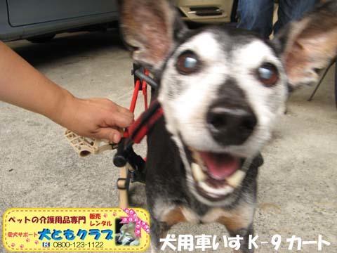 犬用車椅子K9カートミニチュアピンシャのみの吉くん2016042305.jpg
