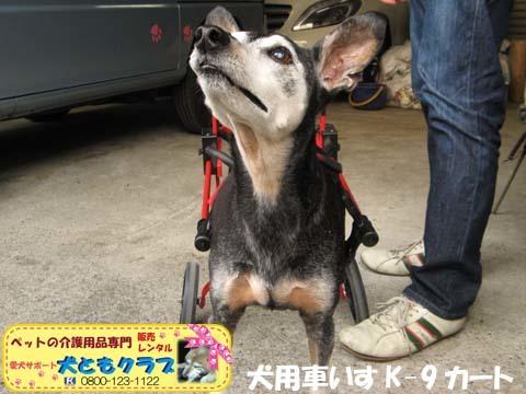 犬用車椅子K9カートミニチュアピンシャのみの吉くん2016042306.jpg