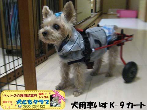 犬用車椅子K9カートヨークシャーテリアのバルコくん2017102401.jpg