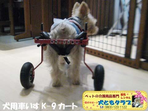 犬用車椅子K9カートヨークシャーテリアのバルコくん2017102403.jpg