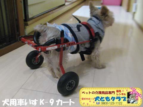 犬用車椅子K9カートヨークシャーテリアのバルコくん2017102404.jpg