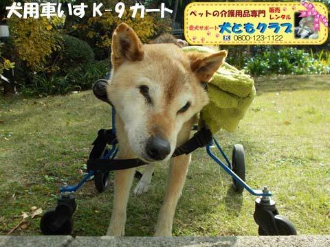 犬用車椅子K9カート柴犬のハナちゃん用2017112904.jpg