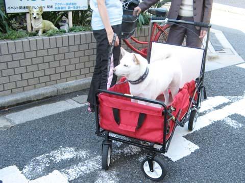 白柴陸くん大型犬用ペットバギー試乗2013101602.jpg